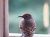flicker portrait (brian eagar - very busy - not much time to comment) Tags: bird nature wildlife wild outdoor outside utah utahbird flicker northernflicker yard