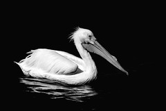 Pelican white riding a wave.Shown in black and white. (Mel Diotte) Tags: white pelican wild nature mel diotte water black explore