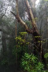 Falling bark (palbion) Tags: springbrook queensland australia au