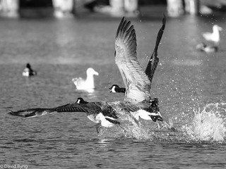 Canada Geese lifting off
