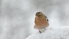 es ist so kalt! (karinrogmann) Tags: buchfink chaffinch fringuello schnee snow neve