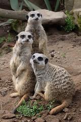 Family Portrait (eyesomepics) Tags: meerkats park farm wildlife animals portrait family ayr scotland ayrshire