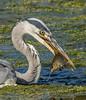DSC0871 (2)  Grey Heron.. (jefflack Wildlife&Nature) Tags: greyheron heron herons birds avian animal animals wildlife wildbirds waterbirds wetlands waterways canals rivers riverbirds lakes ponds reservoirs estuaries estuary ngc npc coth5