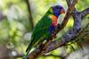 Rainbow Lorikeet (Peta Jade) Tags: glenroy wildlife backyard backyardbirds birds hawkesbury outdoors photography rainbowlorikeet windsor windsornewtown