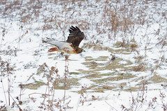 red tailed hawk in flight (Mel Diotte) Tags: red tailed hawk flight