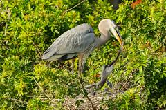 Now that's a 'Slider' (ChicagoBob46) Tags: greatblueheron blueheron heron chick bird veniceareaaudubonsocietyrookery rookery florida nature wildlife ngc coth5 npc