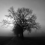 Allee im Nebel - Fog avenue thumbnail