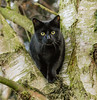 Cat up a tree after squirrels (philbarnes4) Tags: philbarnes dslr nikond5500 parkwoodgreen tree branch eyes black kent england stare watch alert ears whiskers medway blackcat greeneyes feline young chatmoir