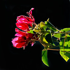 Shiny Bougainvillea (http://fineartamerica.com/profiles/robert-bales.ht) Tags: arizona bougainvillea fineart flickr flowers foothills haybales people photo photouploads places plants projects states plant garden nature flower tropical outdoor summer isolated spring pink beautiful leaf petal green decoration blossom bush blooming floral colorful foliage beauty bright flora decorative climate red ornamental stem botany tree branch elegance macro tropicalclimate lavendula pinkflower white vibrantcolor decorativeborder botanical bloom mediterranean evergreen robertbales iphone thorns vignette greetingcards black