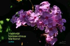 Daily Haiku: Purple (James Milstid) Tags: dailyhaiku haiku poetry jemhaiku dappled mothernature nature motherearth