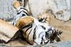 Rückenlage (S.Angerstein) Tags: sumatratiger tierparkberlinfriedrichsfelde tiger pantheratigris pantheratigrissumatrae