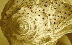 Golden (ertolima) Tags: macro shell monochrome macromondays spiral seashell