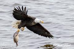 Meat Hook (david.horst.7) Tags: fish eagle bird wildlife nature river water