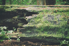 (CarbonNYC [in SF!]) Tags: portolaredwoods hike moss nature redwoods carbonnyc