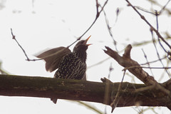 L. C. (Levi c24) Tags: bird starling branch singing loud calling