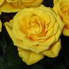 DSC_8846 Yellow Rose (PeaTJay) Tags: nikond750 sigma reading lowerearley berkshire macro micro closeups gardens indoors nature flora fauna plants flowers bouquet rose roses rosebuds