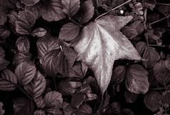 Lone ranger leaf. (ogdaddyo) Tags:
