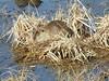 Myocastor coypus (Conexão Selvagem) Tags: myocastor coypus ratão shiga japão japan alinepatriciahorikawa