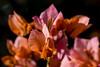 Flowers (ost_jean) Tags: ostjean nikon d5200 900 mm f28 plants bougainvillaea