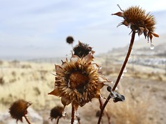 Winter Thaw (Robert Cowlishaw (Mertonian)) Tags: winterweed frozen thaw hillside field canon powershot g1x mark iii canonpowershotg1xmarkiii mertonian robertcowlishaw blues melancholy macro