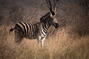 Zebra (FabianYou) Tags: krugerpark mpumalanga südafrika za animal safari travel travelling southafrica africa zebra