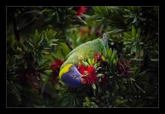 Lorikeet Lunch (Seeing Things My Way...) Tags: lorikeet parrot bird wildlife tree feeding