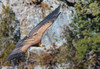 Griffin Vulture - (Gyps fulvus) - 'Z' for zoom (hunt.keith27) Tags: gypsfulvus griffonvulture griffon vulture spain nesting soaring huge wingspan raptor carrion cliffs thermals colonies outdoor animal bird close tree sky grass gorge canon