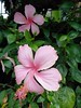 pink hibiscus blossoming on my street now (the foreign photographer - ฝรั่งถ่) Tags: pink hibiscus blossoming street bangkhen bangkok thailand sony