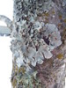 Lichen Up (EX22218 - ON/OFF) Tags: lichen louisville kentucky trees diseases diseased fungus