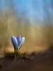 Crocus. Sierra de San Vicente. (luisotespi68) Tags: crocus bulbosas flores flora flower flowers naturaleza nature naturephotography flowersphotography olympus penf chinon autochinon 50mm f12 bokeh fondo desenfoque