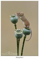 Amost there.... ! (deanmasonwp) Tags: harvest mice mouse tiny cute small animal mammal dean mason wildlife photography windows dorset nikon photo image nature poppy heads seeds