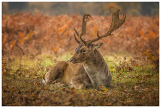 A Quiet Moment - Fallow Deer