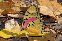 IMG_6599 Euphaedra cf. hastiri (Raiwen) Tags: butterflies lepidoptera nymphalidae limenitidinae adoliadini euphaedra euphaedrahastiri africa westafrica guinea moyenneguinée foutadjalon