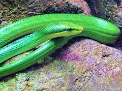 Mamba vert (jean-daniel david) Tags: serpent mamba vert nature reptile closeup tête oeil rocher