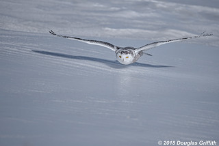 How Low Can She Go?? - Female Snowy Owl (Bubo scandiacus)