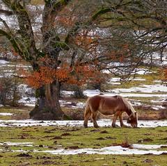 Caballo entre nieve y colores (rosslera) Tags: paseo snow winter colour mountain horse tree spain arbol españa montaña navarra hojas color nieve invierno andía urbasa lizarraga sierra caballo