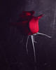 Roses Are Red... (AJWeiss71) Tags: rose roses red flower flowers stilllife floral beauty beautiful single one dark darkness mood moody petal petals romance romantic mystery mysterious alone amyweiss