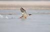 On her beautiful Take off... (Anirban Sinha 80) Tags: nikon d610 fx 500mm f4 ed vrii g n bokeh bird action wings water beak take off natural