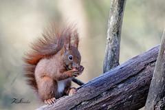 Ecureuil roux (sfrancois73) Tags: faune ecureuilroux affût mammifère forêt