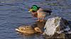 Ducks and ice (Franz Airiman) Tags: bird fågel sjöfågel seabird animal djur snow snö is ice qwinter vinter kallt cold freezing iskallt stockholm sweden scandinavia mallard gräsand