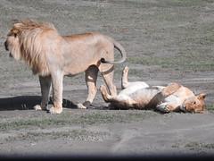 Lions mating 2 (David Bygott) Tags: lions mating africa tanzania natgeoexpeditions 180121 ngorongoro nca ndutu masek