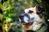 9/52 – home again (stephubik) Tags: 52weeksfordogs candork dog portrait xenon f095