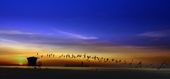 Sunrise Follows the Birds (beachpeepsrus) Tags: shore sky sunrise sihlouette shorefront alamitosbay water beach birds blackskimmers bay california clouds color longbeachcalifornia longbeachgranprix light lifeguardstation