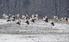 IMG_7910 snow storks (pinktigger) Tags: stork cigüeña storch cicogne ooievaar ciconiaciconia cicogna cegonha bird nature fagagna feagne friuli italy italia oasideiquadris animal outdoor snow winter neve inverno
