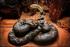 rattlesnake (TheOtherPerspective78) Tags: rattlesnake snake diorama biology naturalhistory museum nhm nhmw vienna historical showcase display 1900 taxidermy theotherperspective78 canon eosm6 poise animal
