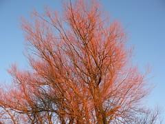 treetop in the evening sun (achatphoenix) Tags: termunterzijl niederlande nl netherlands provinzgroningen arbre tree treetops winter evening eveningsun sunset baum wintersonne abendsonne
