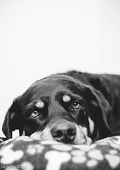 Ol' Beller (Deana Steere) Tags: deanasteere sonya600 35mm digital dog puppy sleepy sweet blackandwhite black white animalportrait dof porrait dogportrait