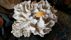 "HUGE WHITE PIECE OF OCEAN CORAL.  $175. • <a style=""font-size:0.8em;"" href=""http://www.flickr.com/photos/51721355@N02/27865664079/"" target=""_blank"">View on Flickr</a>"