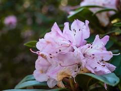 Soft Purple (jgomezmonico) Tags: dmcg5 panasonic olympus microfourthirds mirrorless lumix victoriabc flora flowers bokkeh