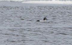 Common Goldeneye, Clarenville (frank.king2014) Tags: commongoldeneye